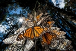 华丽的迁徙——墨西哥帝王蝶 - 广播电视台
