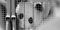 两只一组运送是从熊猫角度考虑决定的 - Syd.Com.Cn
