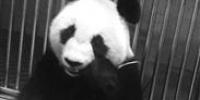 四只熊猫会合吃睡吃睡吃睡 - Syd.Com.Cn