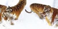 雪乍起,虎跳跃,喜鹊闹 - Syd.Com.Cn