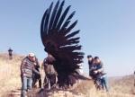沈阳:秃鹫获救后吃太好飞不起来了(图) - 辽宁频道