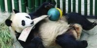 """熊猫""""浦浦""""有点胖为了减肥""""迫""""它运动 - Syd.Com.Cn"""