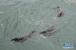 大连:61头被盗捕野生斑海豹全部放归大海 - 新浪辽宁