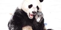 """看见雪蒙圈了 沈阳四只大熊猫近日成为""""网红"""" - 辽宁频道"""